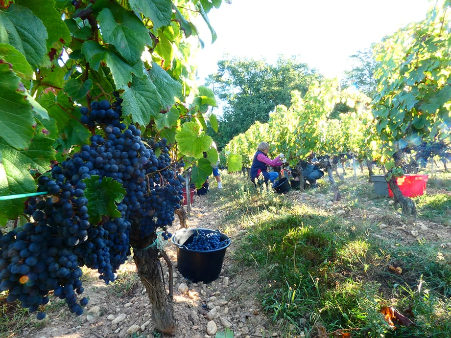 Grape Harvest 2018